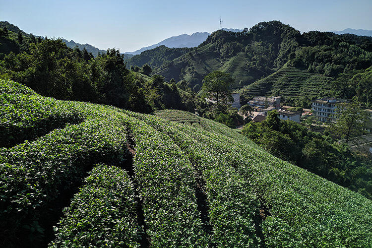 Guangxi Green Tea