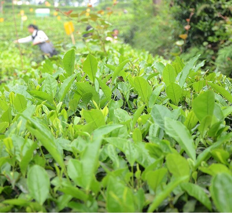 Sichuan Tea Special Green Tea
